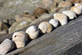 Shells on line lying on a plank at sea Stock Photography