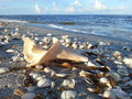 Shells of sanibel beach early morning stroll on the beaches island Stock Photo