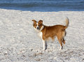 Sheltie collie papillon mixed breed dog a plays on a gulf coast beach Stock Photography