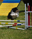 Sheltie leaping over double jump at agility trial Royalty Free Stock Photos