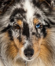Sheltie merle face portrait Royalty Free Stock Photography