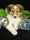 Sheltie Puppy Royalty Free Stock Photo