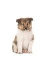 Sheltie puppy sitting in white Royalty Free Stock Photo