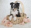 Sheltie (Shetland Sheepdog) Puppy Royalty Free Stock Photo