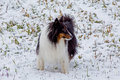 A SHELTIE IN THE SNOW Royalty Free Stock Photo