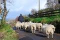 Shepherd With Flock. Royalty Free Stock Photo