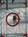 Shepherd adult flies through the ring on snow background Stock Photography