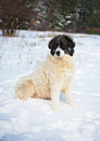Shepherd dog also called bulgarian or karakachan having fun on the snow Stock Images