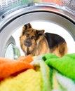 Shepherd dog looking inside wash machine with interest Royalty Free Stock Photo