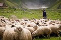 Shepherd and flock of sheep on a background mountains in georgia Stock Photos