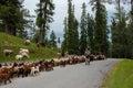 Shepherd with his sheep, lambs Royalty Free Stock Photo