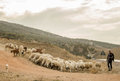 Shepherd and his sheep Royalty Free Stock Photo