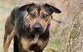 Shepherd mixed breed dog