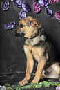Shepherd puppy on a background of flowers Stock Photo