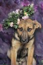 Shepherd puppy in a wreath of small roses Stock Photos