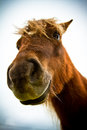 A shetland pony beautiful portrait of in summer Stock Photography