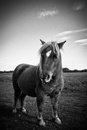 A shetland pony in black and white beautiful portrait of summer Stock Images