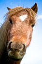 A shetland pony with blue sky beautiful portrait of in summer Stock Photos