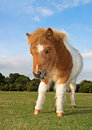 Shetland pony foal cute brown and white Royalty Free Stock Photography