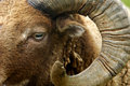 Shetland sheep Stock Images