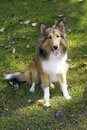 Shetland Sheep Dog Royalty Free Stock Photos