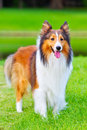 Shetland sheepdog 2 Stock Images