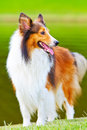 Shetland sheepdog 3 Stock Photography