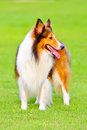 Shetland sheepdog 5 Royalty Free Stock Photos