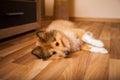 A shetland sheepdog lies on carpet