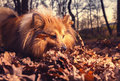 Shetland Sheepdog searches something in brown foliage Royalty Free Stock Photo