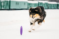 Shetland Sheepdog, Sheltie, Collie Playing With Ring And Fast Running Outdoor In Snow, Winter Royalty Free Stock Photo