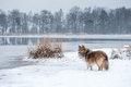Shetland sheepdog or sheltie standing in a snow landscape Royalty Free Stock Photo
