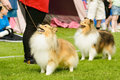 Shetland sheepdogs two looking at handlers waiting for treats Royalty Free Stock Photo