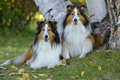 Shetland sheepdogs two sheepdog lying in grass by birch tree Royalty Free Stock Photo