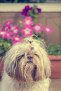 Shi tzu cute puppy dog on a garden hairy pet lying yellow floor with flowers in bloom the background Stock Photos