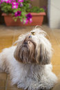 Shi tzu cute puppy dog on a garden hairy pet lying yellow floor with flowers in bloom the background Stock Photo