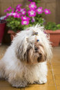 Shi tzu cute puppy dog on a garden hairy pet lying yellow floor with flowers in bloom the background Royalty Free Stock Photography
