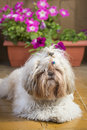 Shi tzu cute puppy dog on a garden hairy pet lying yellow floor with flowers in bloom the background Royalty Free Stock Images
