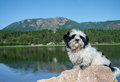 Shiatzu puppy basking in the summer sun on large rock at Monument Lake, CO. Royalty Free Stock Photo