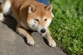 Shiba inu dog Royalty Free Stock Photos