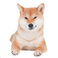 Shiba inu dog smirk red on white background Stock Photos