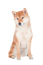 Shiba inu dog on white background red Royalty Free Stock Images