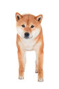 Shiba inu dog on white background red Royalty Free Stock Image
