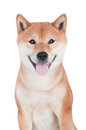 Shiba inu dog on white background red Stock Images