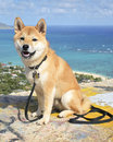 Shiba Inu in Hawaii Stock Images