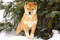 Shiba Inu Puppy in Snow Under Tree Royalty Free Stock Photo