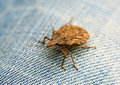 Shield bug macro Royalty Free Stock Photos