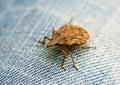 Shield bug macro Royalty Free Stock Photos