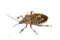 Shield bug macro Royalty Free Stock Photo