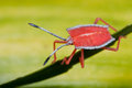 Shield bug/stink bug nymph Stock Photo